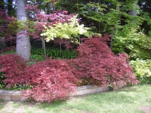 """Brilliant foliage of Acer palmatum """"Dissectum""""... grown for their leaf colour rather than flowers ."""
