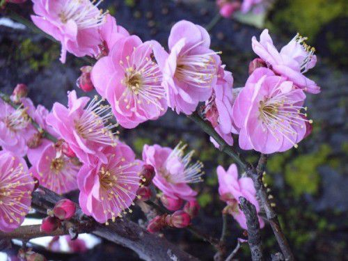 Enjoy mid-winter colour  of the early blossoming tree is the flowering apricot,with a flowering apricot.