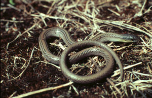 The Striped Legless Lizard. Photo: ACT Government.