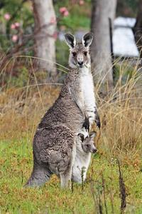 220px-Kangaroo_and_joey03