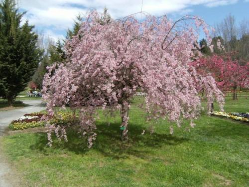 Cheal's weeping cherry at Tulip Top Garden, open to October 13.