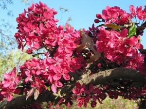 Spectacular crabapple blossom at East Basin Park.