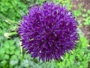 Just look at the make-up of a chive flower.