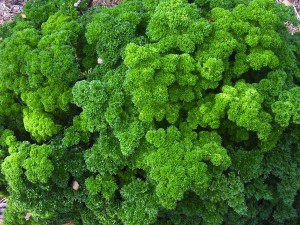Common parsley is a great fill-in for flowerbeds.