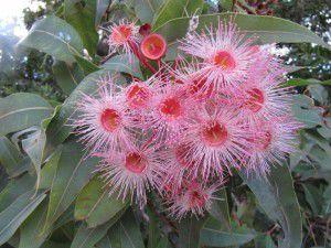 "Corymbia ""Southern Beauty"" in Mogo."