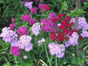 Old-fashioned Dianthus barbatus or Sweet William.