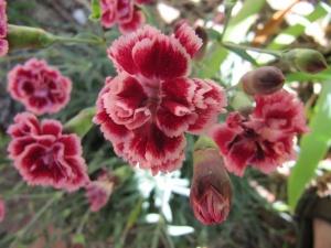 "The stunning new Dianthus ""Sugar Plum""."