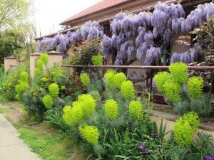 Time to start summer pruning wisteria.