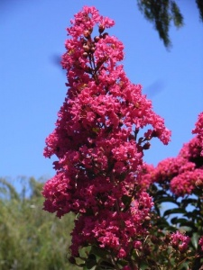 Crepe myrtles… an outstanding shrub for autumn colour.