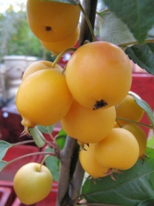 "Malus ""Golden Hornet"" crabapple… the beauty with crabapples is they are virtually pest and disease free."