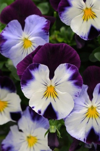 "Oasis Pansy ""Spreading Violet Wing'... great for ground cover with a spreading range to 60 centimetres."