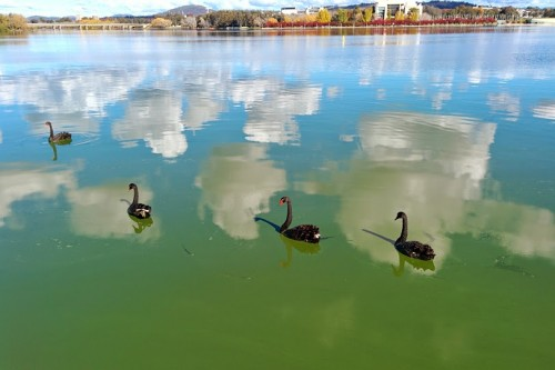 swans on lake burley griffin