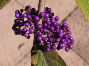 The stunning autumn berries of Callicarpa… flowers, autumn leaves and berries like this, what more do you want?