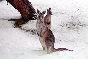 kangaroos in snow