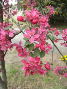 """Latin and common name... Malus floribunda aka """"Japanese Crabapple"""""""
