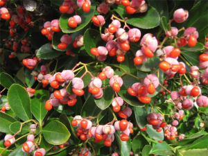Berries of Euonymus japonicus… wonderfully coloured berries as seen here in a Chifley garden at this time.