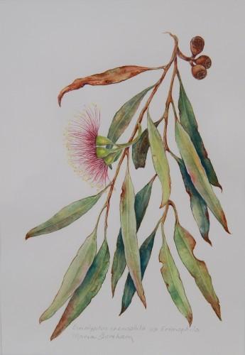"""Eucalyptus erimophila"" by Maria Boreham."
