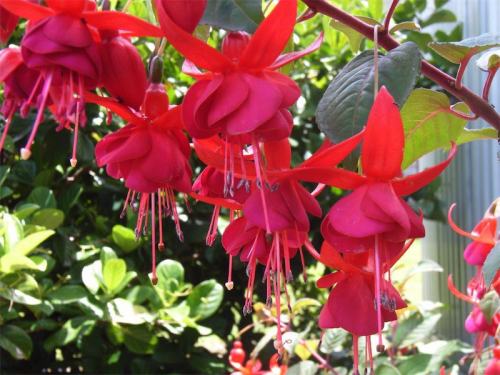 Fuchsias… despite growing well in Canberra, fuchsias are out of fashion with gardeners, which is a pity.
