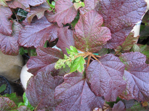 The underrated oak leaf hydrangea for late autumn colour.