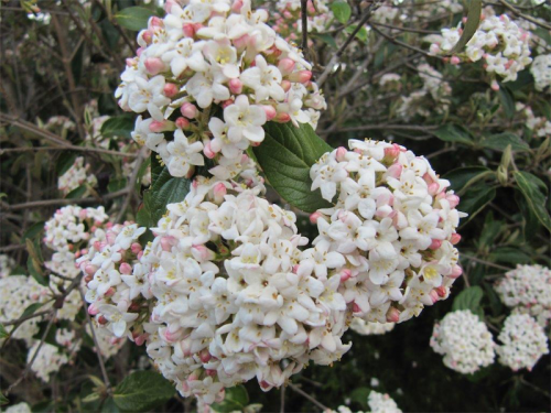 Viburnum carlesii is perfect for fragrance