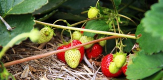 strawberries feature cropped