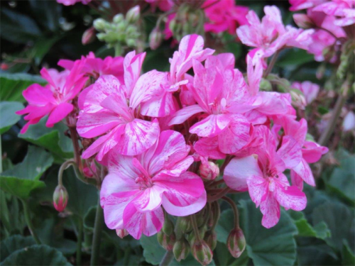 An ideal time to take cuttings of geranium and pelagonium.