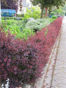 """Berberis thunbergii """"Little Favourite"""" as a low hedge or trimmed for a container."""