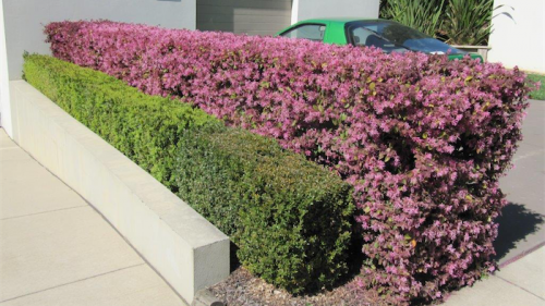 """Loropetalum """"Plum Gorgeous"""" makes a great hedge as seen here in Manuka."""