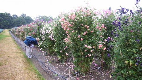 Sweet pea trials in the Royal Horticultural Society gardens in Surrey, England... amateur growers submit seeds for evaluation, hoping their sweet peas are selected as a new variety.
