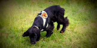 hawkweed dog