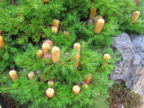 """Ideal for small gardens, Banksia """"Birthday Candles""""."""