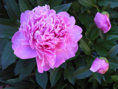 The queen of flowers, the peony.