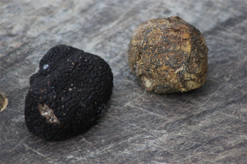 "The black, winter truffle, left, and the ""fool's truffle"", horse-dung fungus."