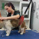 """Dog groomer Caitlin Howship working on another """"gorgeous bundle of fluff."""""""