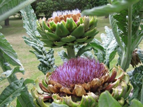 Big, bold flowers of the globe artichoke... often grown in the ornamental garden.