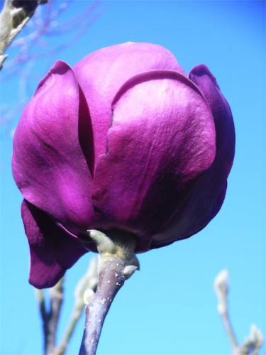 """The Magnolia """"Black Tulip""""... with purple-black blooms up to 15cm across."""