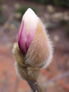The endangered Magnolia stellata or Star magnolia… starting to emerge from its winter coat.