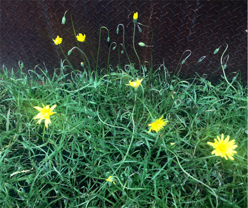 yam-daisies