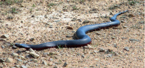 Good guy… a red-belly black snake, which is reluctant to bite. Photo by Heike Hahner
