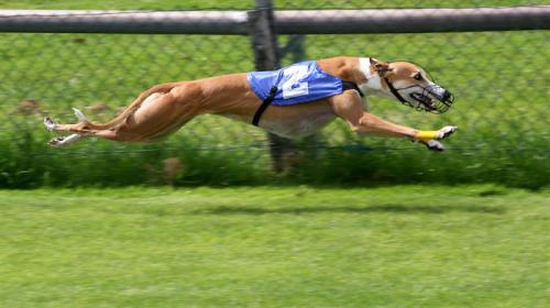 greyhound_racing-1