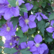 Look for the new dwarf clematis… ideal for growing on a frame in a pot on a balcony or round a verandah pillar.