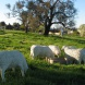 'Roundabout Sheep' by Roger Buckman, photo the late Kim Nelson