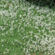 White-flowering carpet thyme, Thymus serpyllum.