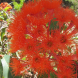 """The brilliantly coloured flowers of Corymbia """"Summer Red"""" photographed recently at the Botanic Gardens."""