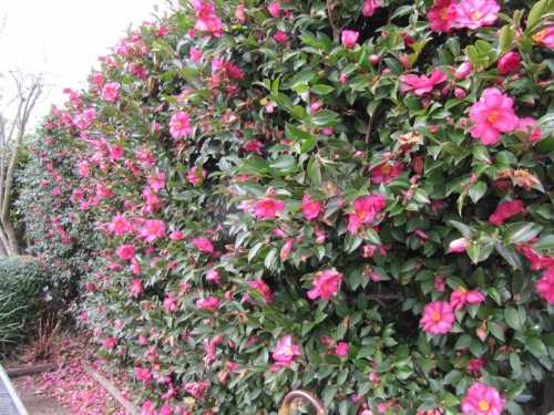 IMG_3030-500x375 Camellia As Houseplant on