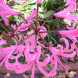 Nerines for autumn colour and a fragrant cut flower.