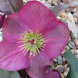 "The winter-flowering Helleborus ""Anna's Red""."