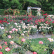 Roses are still the world's favourite flowerwith many exciting new varieties this year.