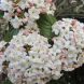 Viburnum carlessii… spring brings a wonderful fragrance.