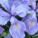 Iris cristata for carefree gardening… explodes into the most amazing display of mauve flowers.